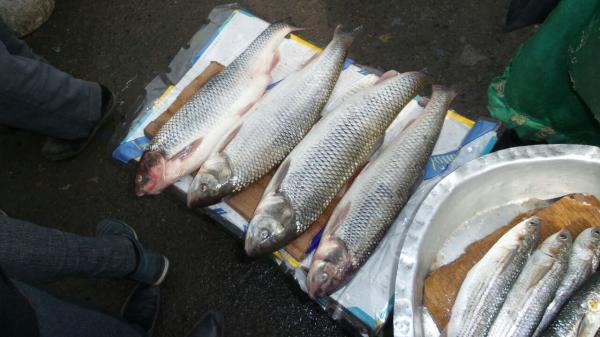 Qiyməti 5-10 dəfə qalxan balıq